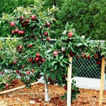 Трехэтажная яблоня