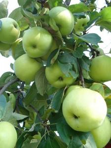 Сорт яблок Антоновка