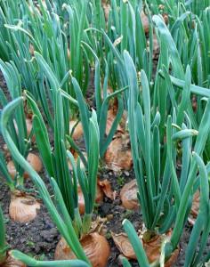 Первый лук на огороде