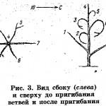 Плоская крона яблонь