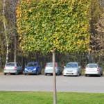 Плоская крона деревьев
